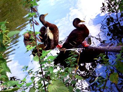 ducks1 (foto by Lady)