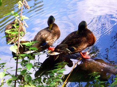ducks2 (foto by Lady)