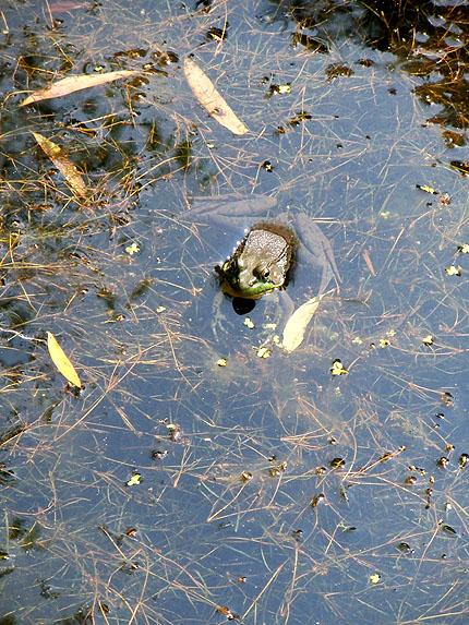 pondfrog201507b