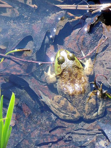 springfrog