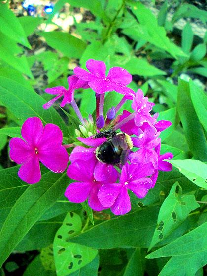 bumblebeephlox